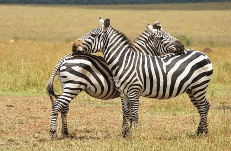 Ada 5 Fakta Menarik Tentang Zebra…